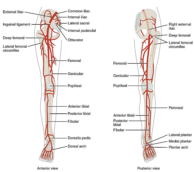 anatomy of leg