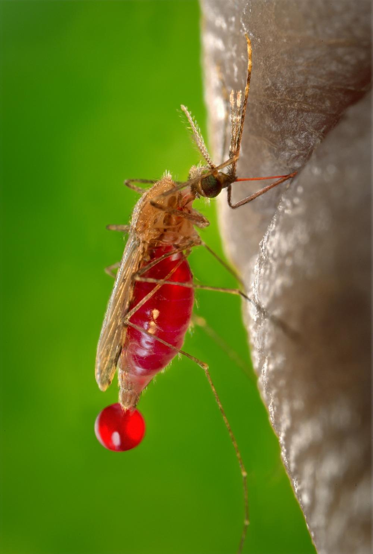 mosquito-542159_1920