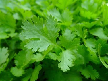 parsley-741996_640